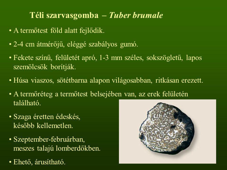 Téli szarvasgomba – Tuber brumale A termőtest föld alatt fejlődik. 2-4 cm átmérőjű, eléggé szabályos gumó. Fekete színű, felületét apró, 1-3 mm széles