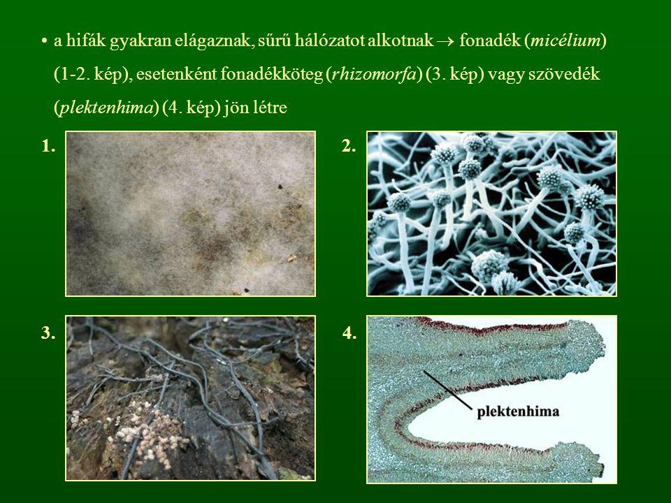a hifák gyakran elágaznak, sűrű hálózatot alkotnak  fonadék (micélium) (1-2. kép), esetenként fonadékköteg (rhizomorfa) (3. kép) vagy szövedék (plekt
