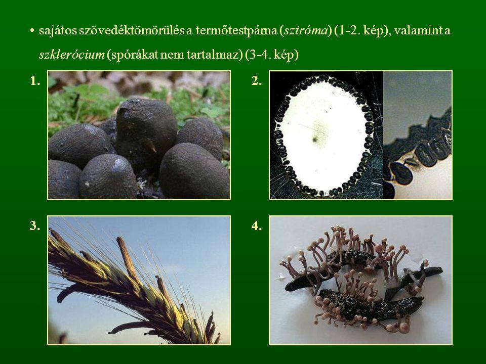 sajátos szövedéktömörülés a termőtestpárna (sztróma) (1-2. kép), valamint a szklerócium (spórákat nem tartalmaz) (3-4. kép) 1.2. 3.4.