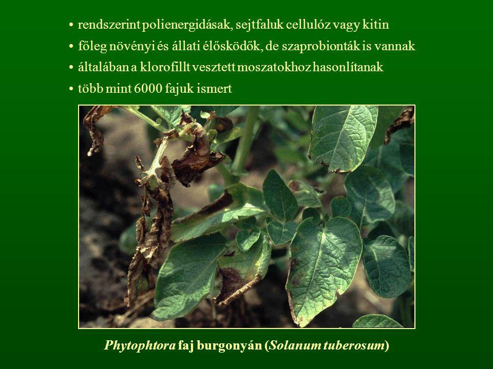 rendszerint polienergidásak, sejtfaluk cellulóz vagy kitin főleg növényi és állati élősködők, de szaprobionták is vannak általában a klorofillt veszte