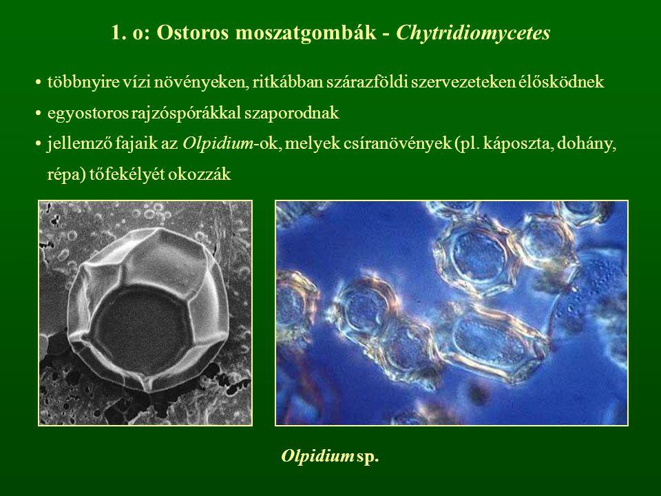 1. o: Ostoros moszatgombák - Chytridiomycetes többnyire vízi növényeken, ritkábban szárazföldi szervezeteken élősködnek egyostoros rajzóspórákkal szap