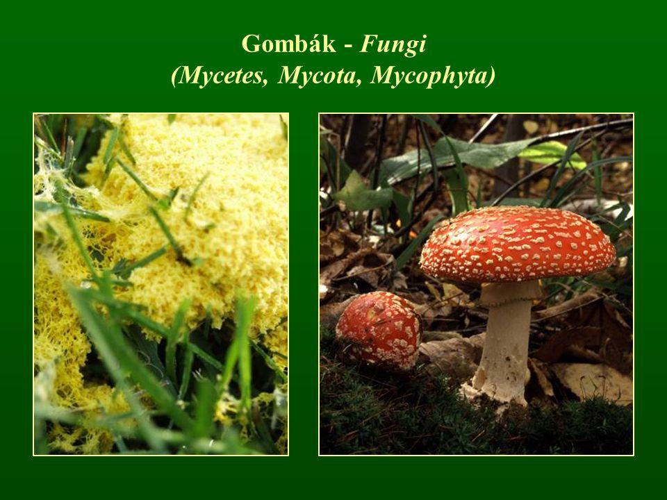 Gombák - Fungi (Mycetes, Mycota, Mycophyta)