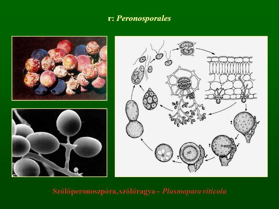 Szőlőperonoszpóra, szőlőragya – Plasmopara viticola r: Peronosporales