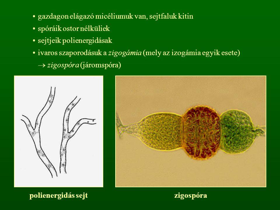 gazdagon elágazó micéliumuk van, sejtfaluk kitin spóráik ostor nélküliek sejtjeik polienergidásak ivaros szaporodásuk a zigogámia (mely az izogámia eg