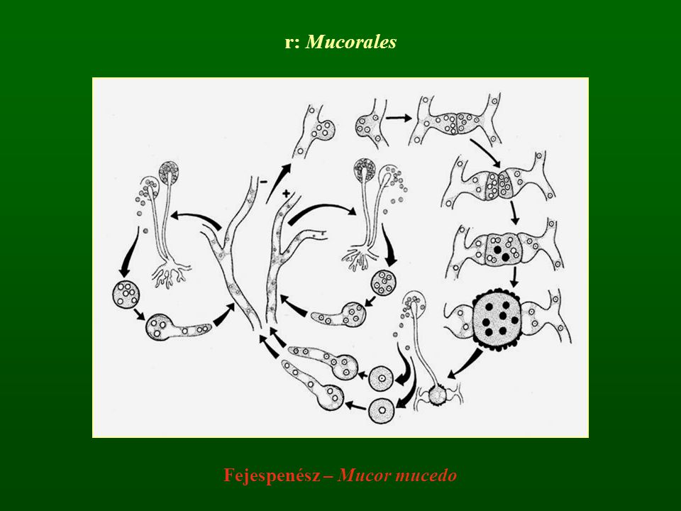 Fejespenész – Mucor mucedo r: Mucorales