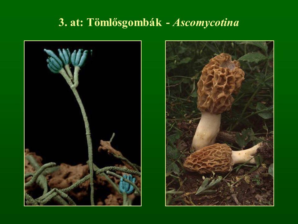 3. at: Tömlősgombák - Ascomycotina
