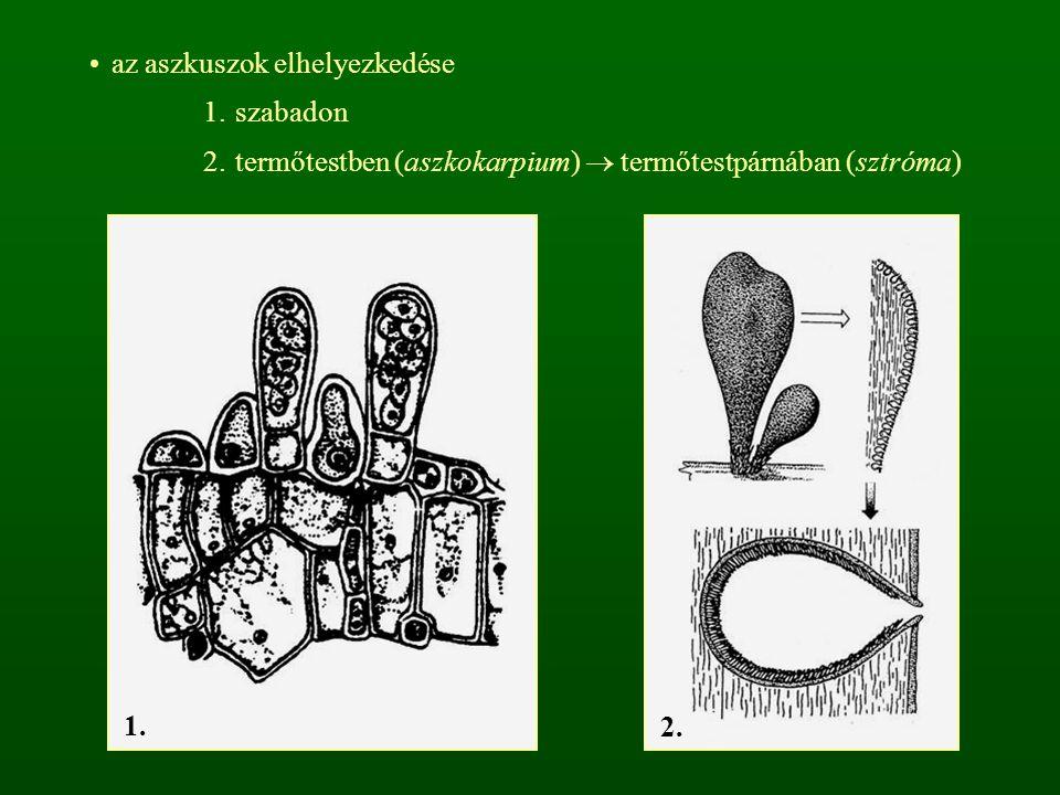 az aszkuszok elhelyezkedése 1.szabadon 2.termőtestben (aszkokarpium)  termőtestpárnában (sztróma) 1. 2.
