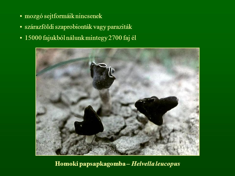 mozgó sejtformáik nincsenek szárazföldi szaprobionták vagy paraziták 15000 fajukból nálunk mintegy 2700 faj él Homoki papsapkagomba – Helvella leucopu
