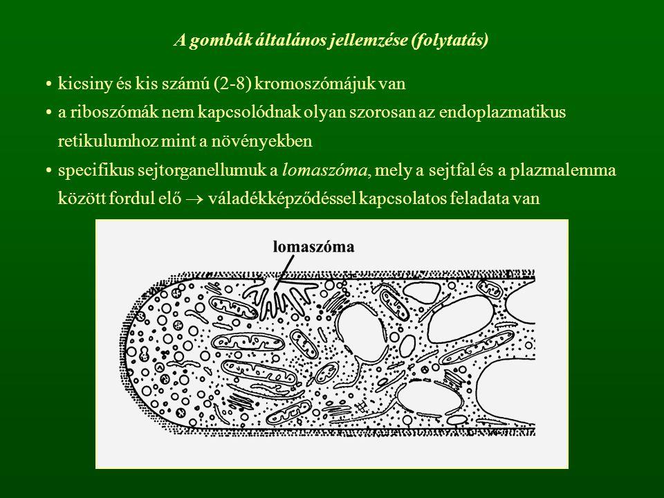 A gombák általános jellemzése (folytatás) kicsiny és kis számú (2-8) kromoszómájuk van a riboszómák nem kapcsolódnak olyan szorosan az endoplazmatikus