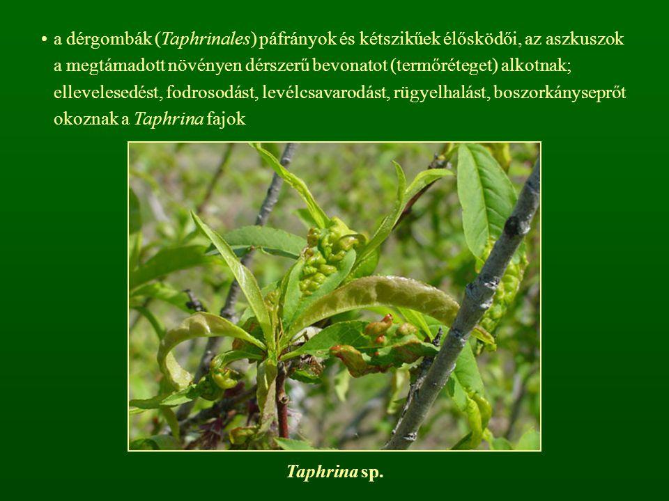 a dérgombák (Taphrinales) páfrányok és kétszikűek élősködői, az aszkuszok a megtámadott növényen dérszerű bevonatot (termőréteget) alkotnak; elleveles