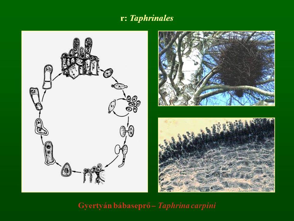 r: Taphrinales Gyertyán bábaseprő – Taphrina carpini