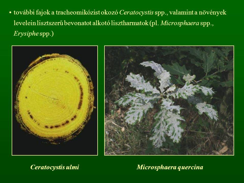 további fajok a tracheomikózist okozó Ceratocystis spp., valamint a növények levelein lisztszerű bevonatot alkotó lisztharmatok (pl. Microsphaera spp.