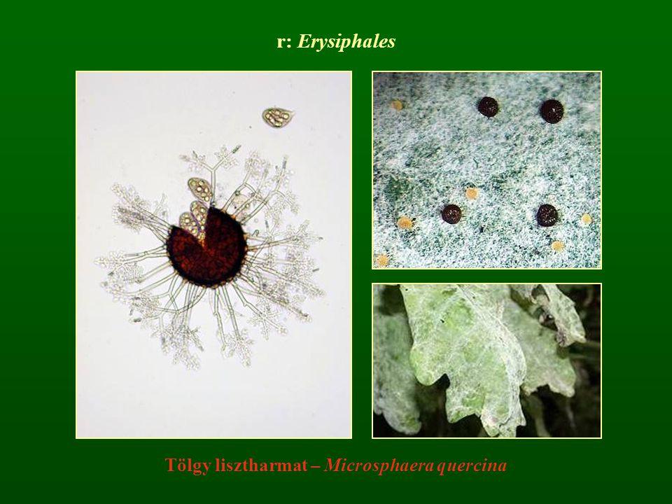 r: Erysiphales Tölgy lisztharmat – Microsphaera quercina