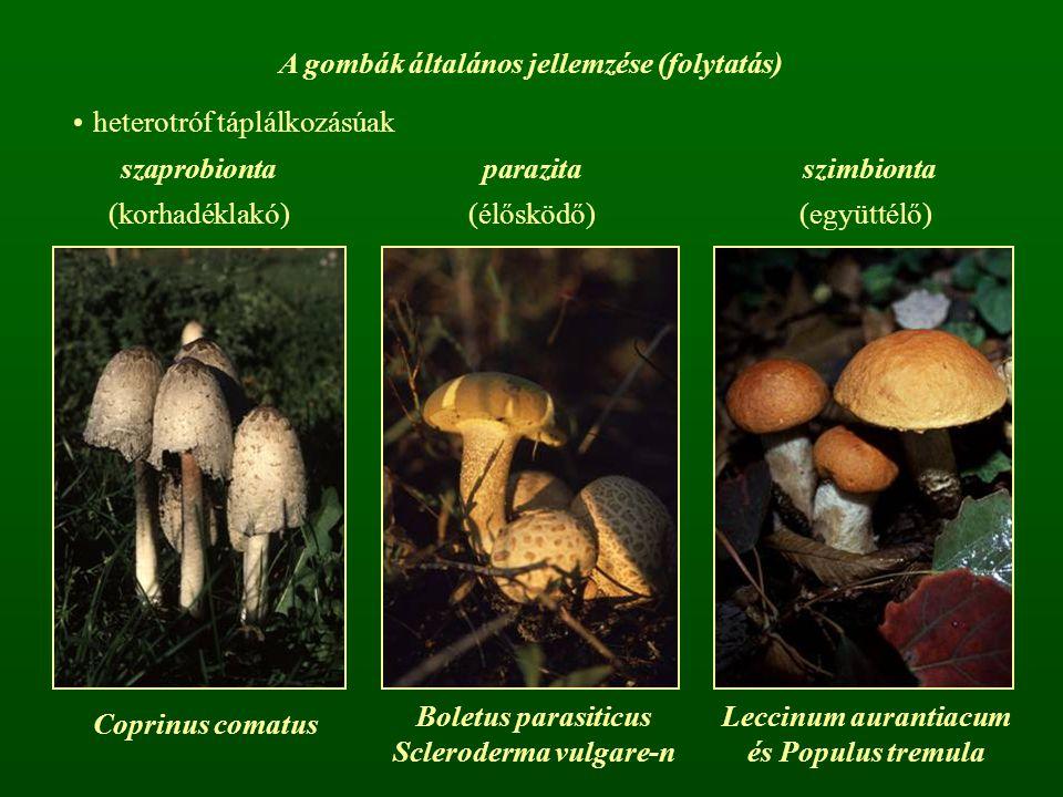 A gombák általános jellemzése (folytatás) heterotróf táplálkozásúak szaprobionta parazita szimbionta (korhadéklakó)(élősködő)(együttélő) Boletus paras
