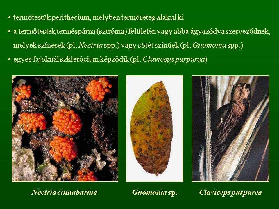 termőtestük perithecium, melyben termőréteg alakul ki a termőtestek terméspárna (sztróma) felületén vagy abba ágyazódva szerveződnek, melyek színesek
