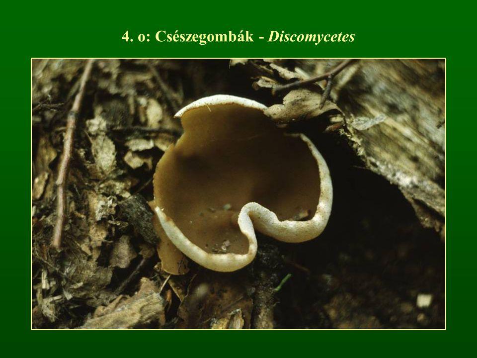 4. o: Csészegombák - Discomycetes