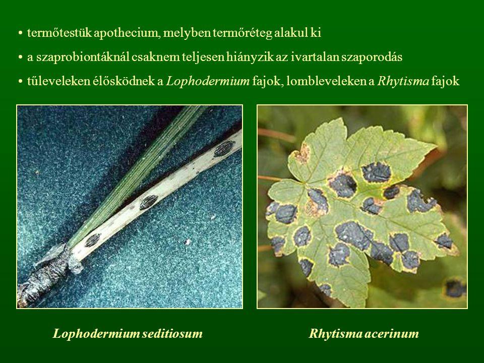 termőtestük apothecium, melyben termőréteg alakul ki a szaprobiontáknál csaknem teljesen hiányzik az ivartalan szaporodás tűleveleken élősködnek a Lop