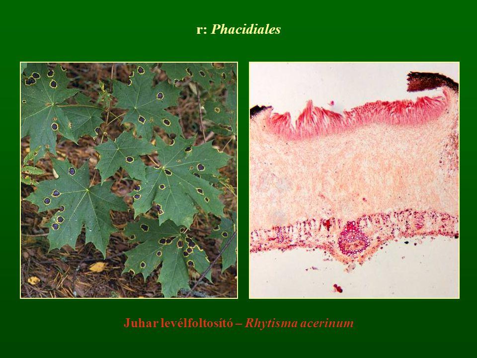 r: Phacidiales Juhar levélfoltosító – Rhytisma acerinum