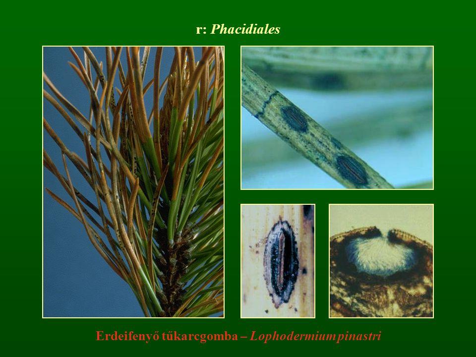 r: Phacidiales Erdeifenyő tűkarcgomba – Lophodermium pinastri