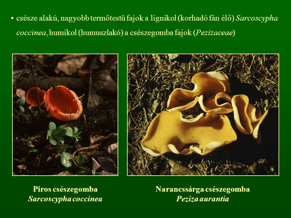 csésze alakú, nagyobb termőtestű fajok a lignikol (korhadó fán élő) Sarcoscypha coccinea, humikol (humuszlakó) a csészegomba fajok (Pezizaceae) Piros