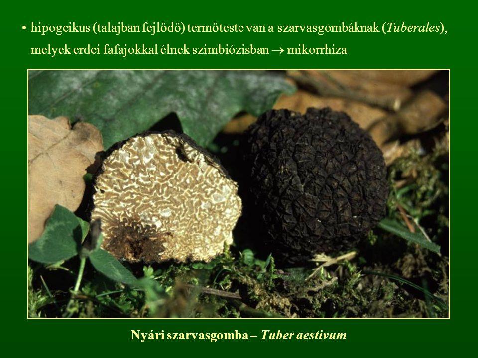 hipogeikus (talajban fejlődő) termőteste van a szarvasgombáknak (Tuberales), melyek erdei fafajokkal élnek szimbiózisban  mikorrhiza Nyári szarvasgom