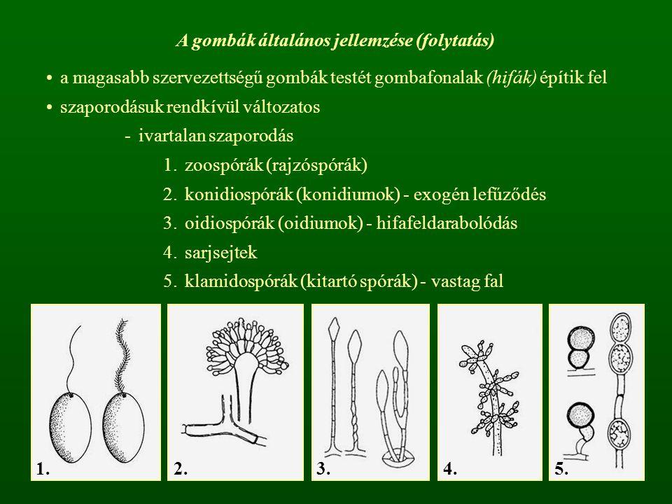 A gombák általános jellemzése (folytatás) a magasabb szervezettségű gombák testét gombafonalak (hifák) építik fel szaporodásuk rendkívül változatos -i