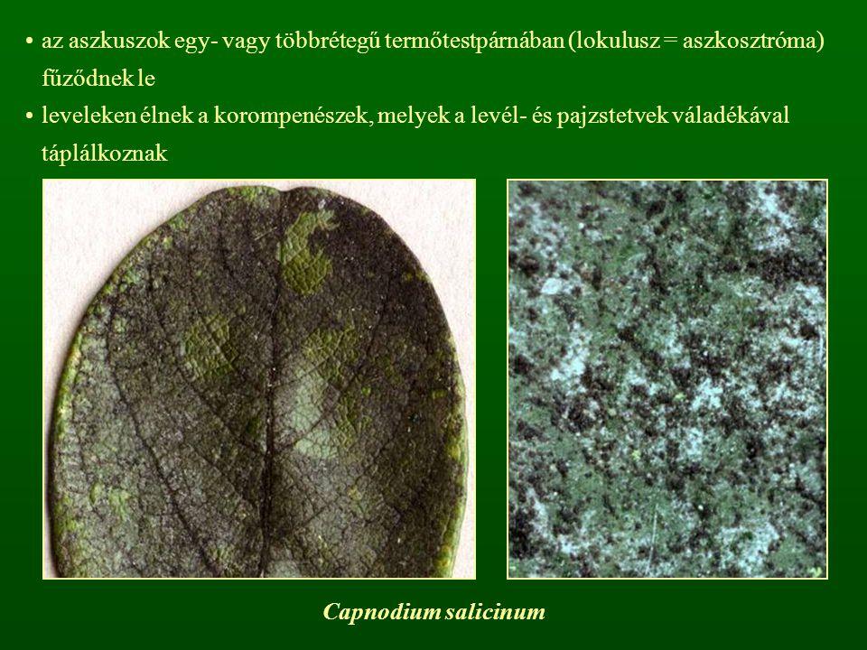 az aszkuszok egy- vagy többrétegű termőtestpárnában (lokulusz = aszkosztróma) fűződnek le leveleken élnek a korompenészek, melyek a levél- és pajzstet