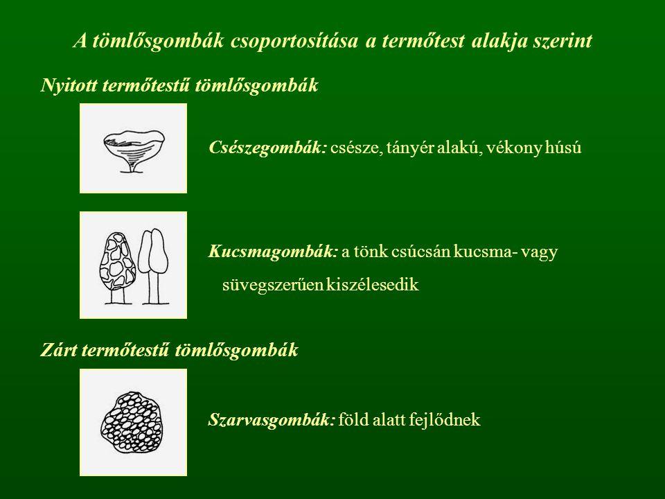 A tömlősgombák csoportosítása a termőtest alakja szerint Nyitott termőtestű tömlősgombák Zárt termőtestű tömlősgombák Csészegombák: csésze, tányér ala