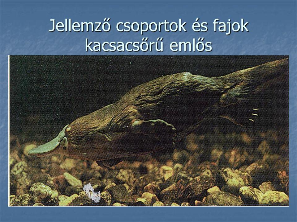 Jellemző csoportok és fajok kacsacsőrű emlős