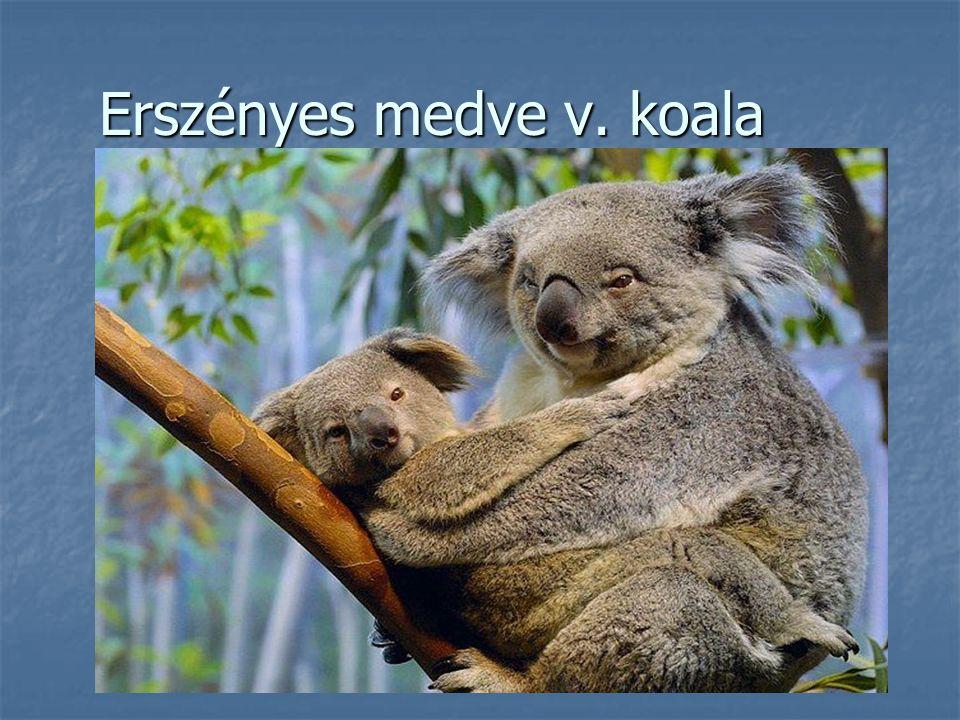 Erszényes medve v. koala