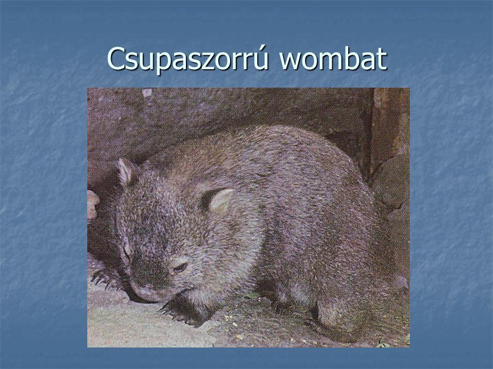 Csupaszorrú wombat