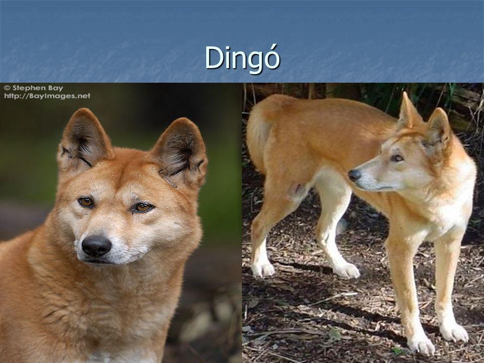 Dingó