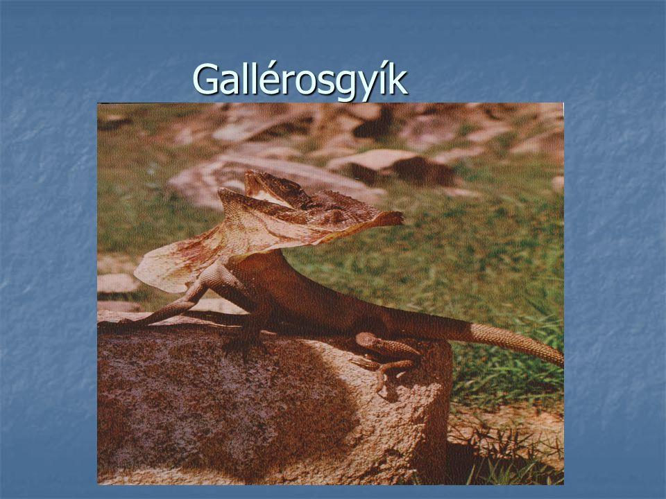 Gallérosgyík