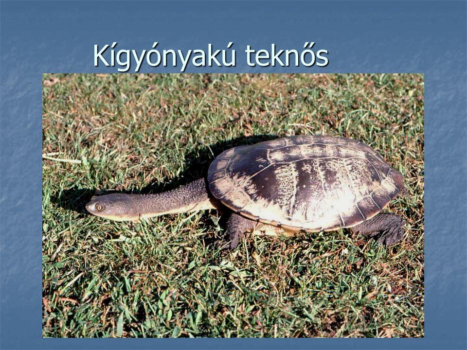 Kígyónyakú teknős