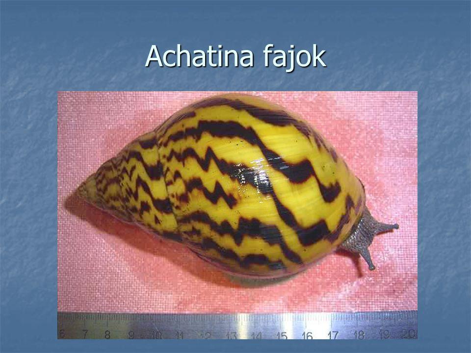 Achatina fajok