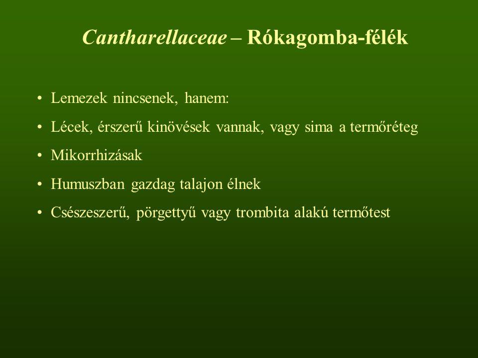 Cantharellaceae – Rókagomba-félék Lemezek nincsenek, hanem: Lécek, érszerű kinövések vannak, vagy sima a termőréteg Mikorrhizásak Humuszban gazdag talajon élnek Csészeszerű, pörgettyű vagy trombita alakú termőtest