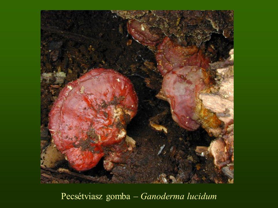 Pecsétviasz gomba – Ganoderma lucidum