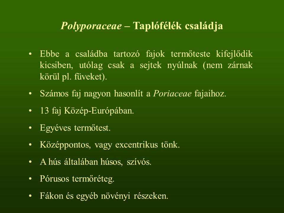 Polyporaceae – Taplófélék családja Ebbe a családba tartozó fajok termőteste kifejlődik kicsiben, utólag csak a sejtek nyúlnak (nem zárnak körül pl.
