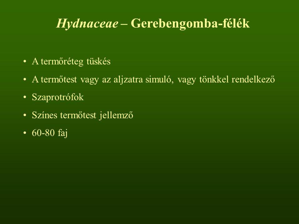 Hydnaceae – Gerebengomba-félék A termőréteg tüskés A termőtest vagy az aljzatra simuló, vagy tönkkel rendelkező Szaprotrófok Színes termőtest jellemző 60-80 faj