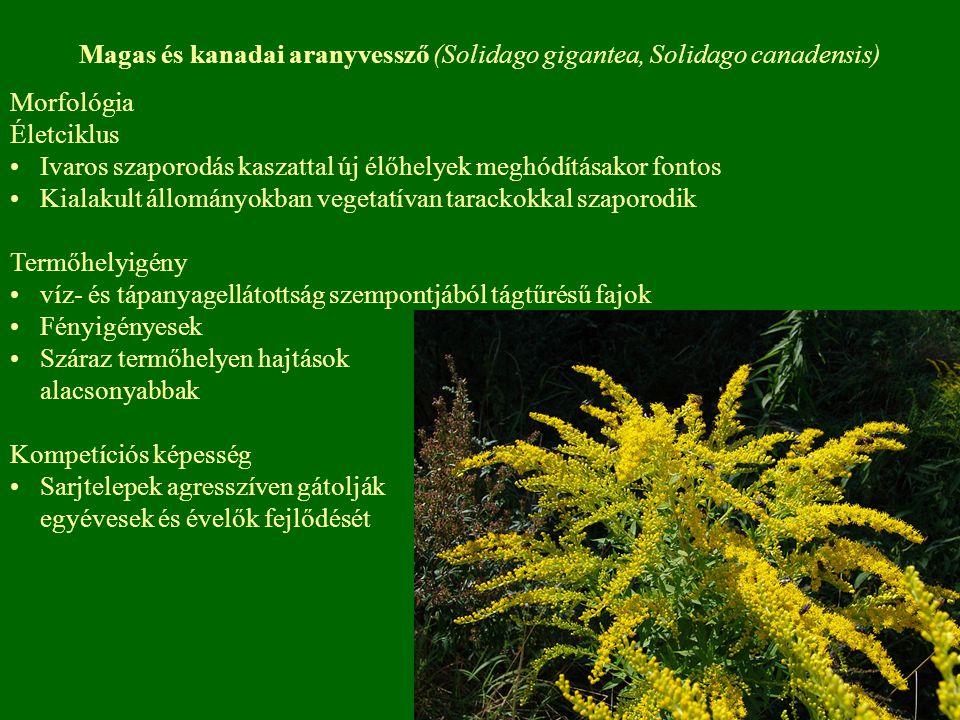 Magas és kanadai aranyvessző (Solidago gigantea, Solidago canadensis) Morfológia Életciklus Ivaros szaporodás kaszattal új élőhelyek meghódításakor fo