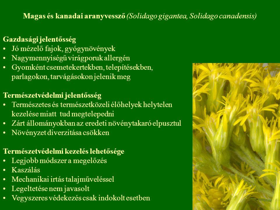 Gazdasági jelentősség Jó mézelő fajok, gyógynövények Nagymennyiségű virágporuk allergén Gyomként csemetekertekben, telepítésekben, parlagokon, tarvágá