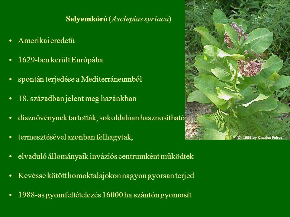 Selyemkóró (Asclepias syriaca) Amerikai eredetű 1629-ben került Európába spontán terjedése a Mediterráneumból 18. században jelent meg hazánkban díszn
