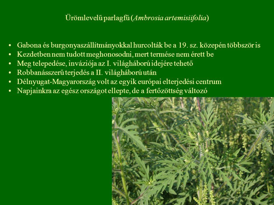 Ürömlevelű parlagfű (Ambrosia artemisiifolia) Gabona és burgonyaszállítmányokkal hurcolták be a 19. sz. közepén többször is Kezdetben nem tudott megho