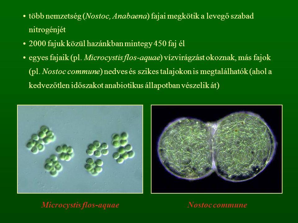 több nemzetség (Nostoc, Anabaena) fajai megkötik a levegő szabad nitrogénjét 2000 fajuk közül hazánkban mintegy 450 faj él egyes fajaik (pl. Microcyst