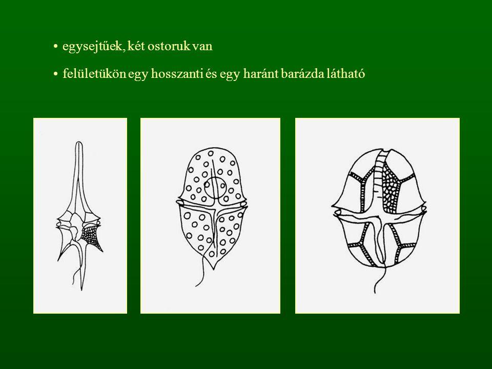 egysejtűek, két ostoruk van felületükön egy hosszanti és egy haránt barázda látható