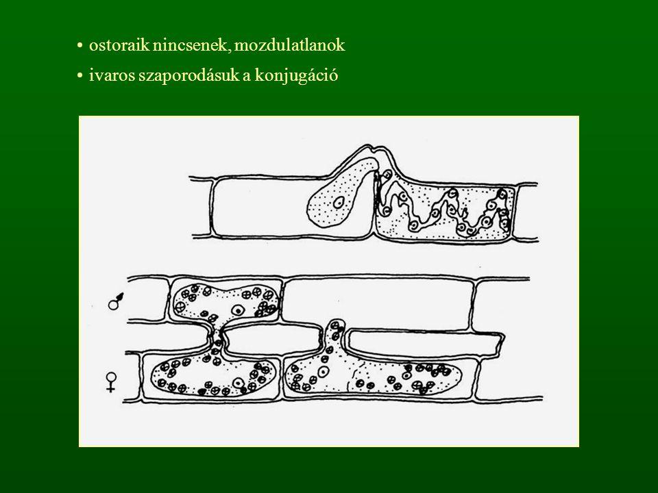 ostoraik nincsenek, mozdulatlanok ivaros szaporodásuk a konjugáció