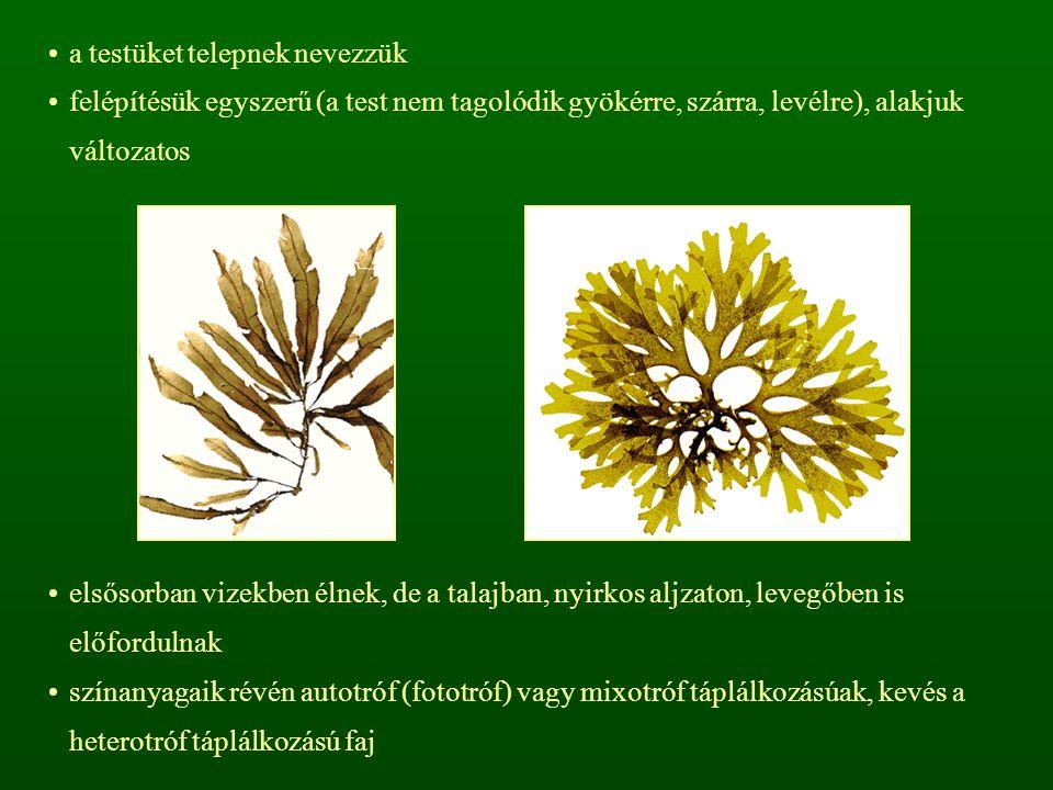 moszatokból származtathatók a növényvilág többi tagjai, illetve az állatvilág is a legkisebb (0,5  m) és a legnagyobb (400 m) autotróf növények közülük kerülnek ki Nostoc sp.