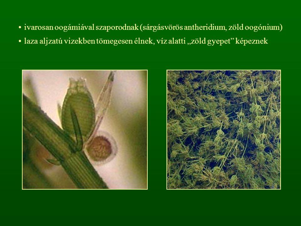 """ivarosan oogámiával szaporodnak (sárgásvörös antheridium, zöld oogónium) laza aljzatú vizekben tömegesen élnek, víz alatti """"zöld gyepet"""" képeznek"""