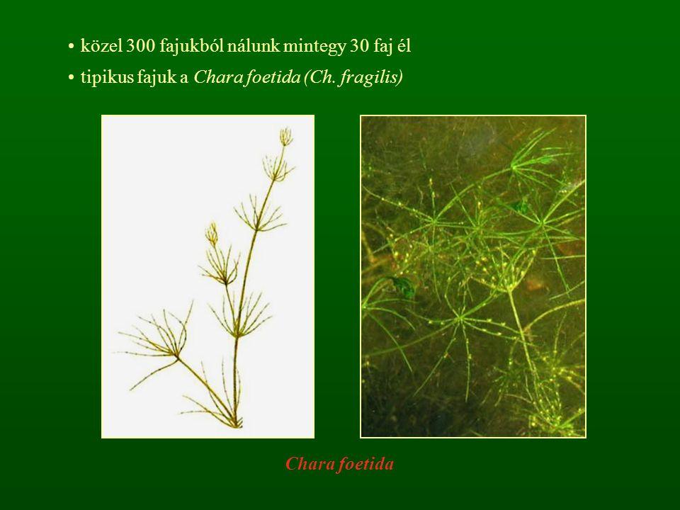közel 300 fajukból nálunk mintegy 30 faj él tipikus fajuk a Chara foetida (Ch. fragilis) Chara foetida