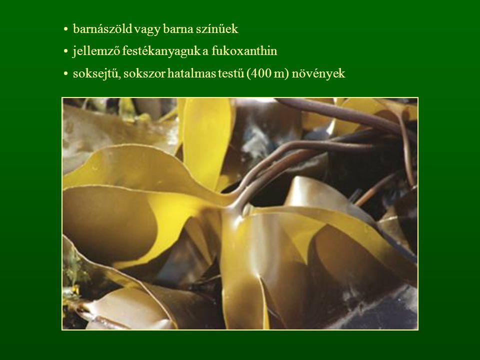 barnászöld vagy barna színűek jellemző festékanyaguk a fukoxanthin soksejtű, sokszor hatalmas testű (400 m) növények